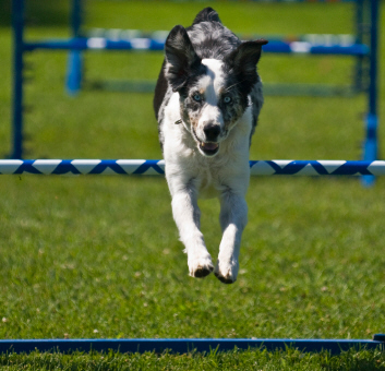 agility_dog_small.jpg